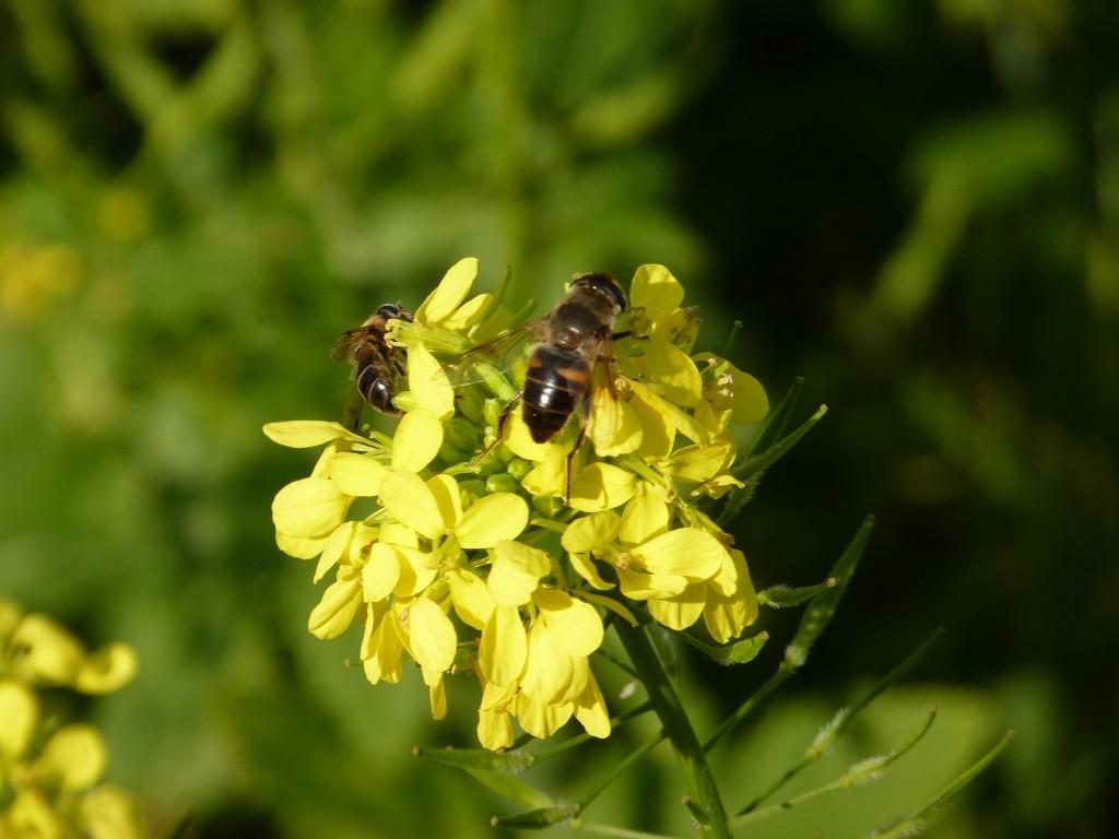 moutarde phacélie et syrphe 004